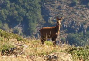 Chamois in the Nature park of the High Pyrenees (Rupicapra rupicapra)